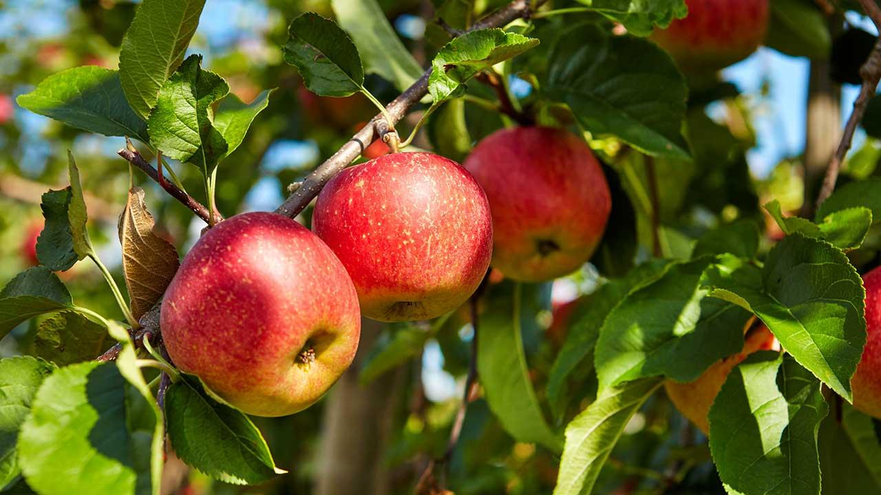 Äpfel am Ast