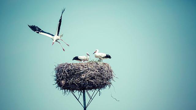 Störche mit ihrem Nest