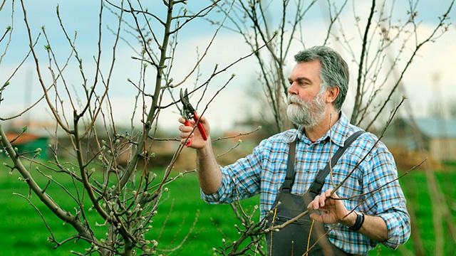 Obstbaum beschneiden